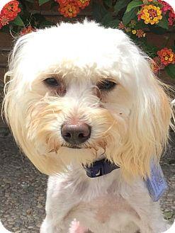 Maltese Mix Puppy for adoption in Santa Cruz, California - Orville