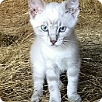 Adopt A Pet :: Snowball - Germantown, MD