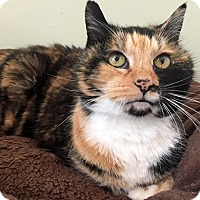 Calico Cat for adoption in Westchester, California - Katniss