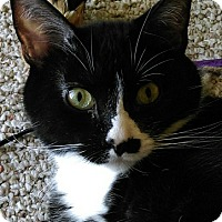 Domestic Shorthair Cat for adoption in Verona, Wisconsin - Saul