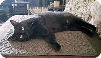 Domestic Shorthair Cat for adoption in Toronto, Ontario - Bambi