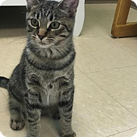 Domestic Shorthair Cat for adoption in Woodhaven, Michigan - Daisy