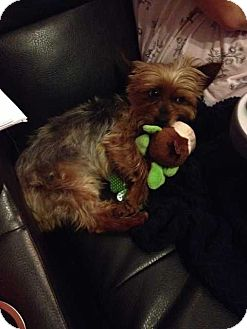 Yorkie, Yorkshire Terrier Dog for adoption in Mackinaw, Illinois - Sparky