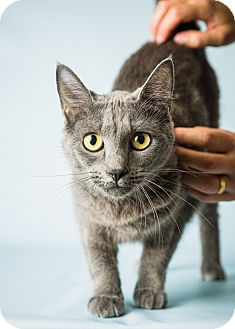 Russian Blue Cat for adoption in Hendersonville, North Carolina - Indy