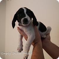 Adopt A Pet :: Howlie - Manassas, VA
