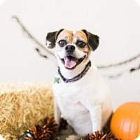 Beagle Mix Dog for adoption in Chino Hills, California - Daisy - Claremont