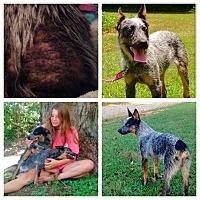Australian Cattle Dog/Lancashire Heeler Mix Dog for adoption in Hollis, Maine - Bindi & Joey