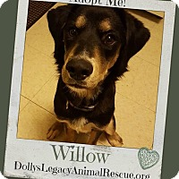 Adopt A Pet :: WILLOW - Lincoln, NE