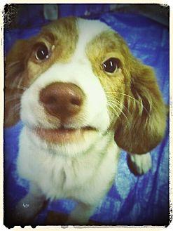 Labrador Retriever Mix Puppy for adoption in Lima, Pennsylvania - Whitney