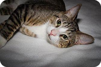 Domestic Mediumhair Kitten for adoption in Plant City, Florida - Watson