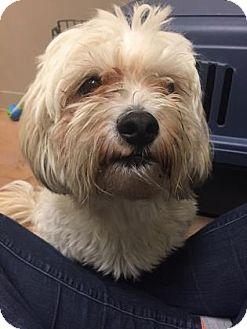 Miniature Poodle Mix Dog for adoption in Philadelphia, Pennsylvania - Smurfy