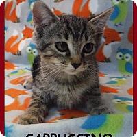 Adopt A Pet :: Cappuccino - Batesville, AR