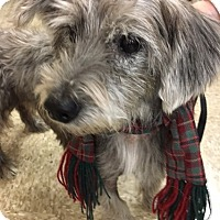 Schnauzer (Standard) Mix Dog for adoption in Madisonville, Louisiana - Bob