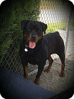 Rottweiler Dog for adoption in LITTLETON, Colorado - Sidney