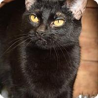 Adopt A Pet :: Oliver Queen - Herndon, VA