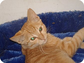 Domestic Shorthair Cat for adoption in Scottsdale, Arizona - Goldie
