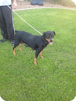 Rottweiler Dog for adoption in Gilbert, Arizona - Zoey