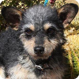 Fox Terrier (Wirehaired)/Fox Terrier (Wirehaired) Mix Puppy for adoption in Gilbert, Arizona - Charly