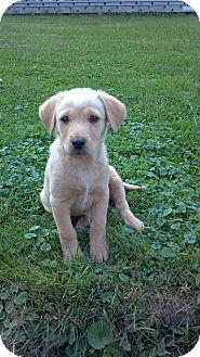 Labrador Retriever Mix Puppy for adoption in Morgantown, West Virginia - Ricky