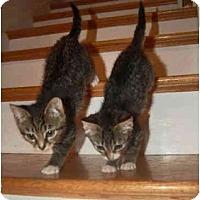 Adopt A Pet :: Coco Puff - Colmar, PA