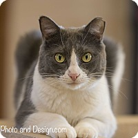 Adopt A Pet :: KitKat - Fountain Hills, AZ
