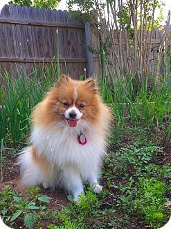 pomeranian oklahoma tanana adoption pending adopted dog edmond ok 840