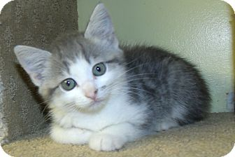 Domestic Shorthair Kitten for adoption in Acme, Pennsylvania - MIRAGE