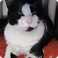 Domestic Shorthair Cat for adoption in Jackson, New Jersey - Bradley