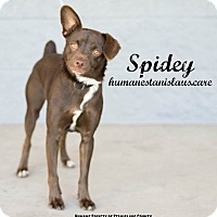 Adopt A Pet :: Spidey - Modesto, CA