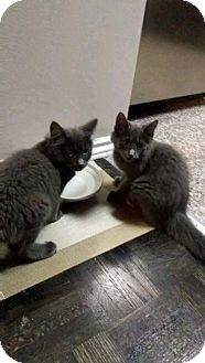 Russian Blue Kitten for adoption in THORNHILL, Ontario - Kirk