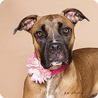 Adopt A Pet :: Missy - Houston, TX