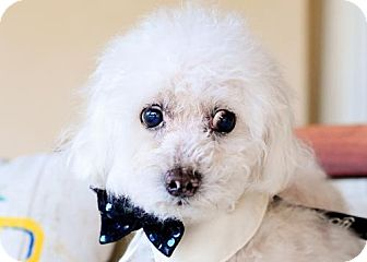 Poodle (Miniature) Dog for adoption in Fort Lauderdale, Florida - Perry