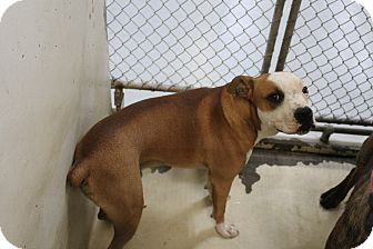 Pit Bull Terrier Mix Dog for adoption in Odessa, Texas - A22 Midas