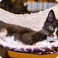 Adopt A Pet :: A..  Furrah - Mooresville, NC