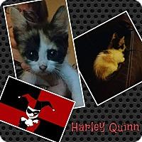 Adopt A Pet :: Harley Quinn - joliet, IL