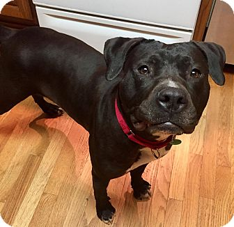 Pit Bull Terrier/Labrador Retriever Mix Dog for adoption in Dayton, Ohio - Misty