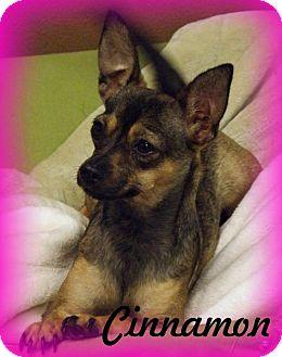 Chihuahua/Dachshund Mix Dog for adoption in Anaheim Hills, California - Cinnamon