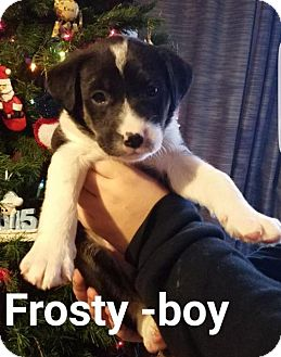 Border Collie Mix Puppy for adoption in Maple Grove, Minnesota - Frosty