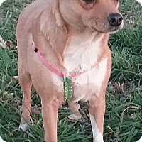 Chihuahua/Beagle Mix Dog for adoption in Macomb, Illinois - Twinkie