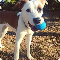 Adopt A Pet :: Piper - Raleigh, NC