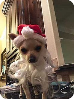 Chihuahua Mix Puppy for adoption in Allen, Texas - Turbo