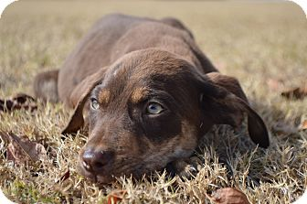 Labrador Retriever Mix Puppy for adoption in Springfield, Massachusetts - Mel-ADOPTED