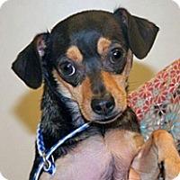 Adopt A Pet :: Lil Bit - Wildomar, CA