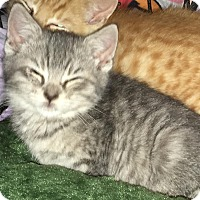 Adopt A Pet :: Dasher - East Brunswick, NJ