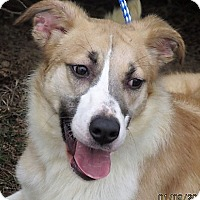 Border Collie/Shepherd (Unknown Type) Mix Dog for adoption in Germantown, Maryland - Bobby Jo