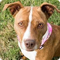 Adopt A Pet :: Canela - Portland, OR