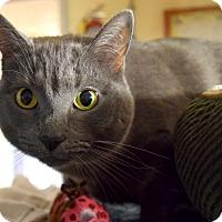 Adopt A Pet :: Blue - Bay Shore, NY