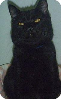 Domestic Shorthair Cat for adoption in Hamburg, New York - Bryan