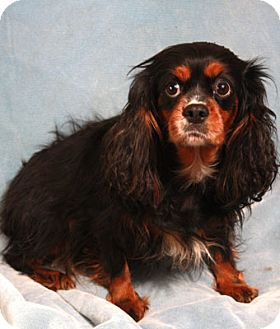 Cavalier King Charles Spaniel Dog for adoption in St. Louis, Missouri - Tillie Cavalier