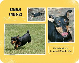 Dachshund Mix Dog for adoption in Lufkin, Texas - Bambam